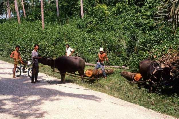 Illegal Logging Luzon Philippines c.1989