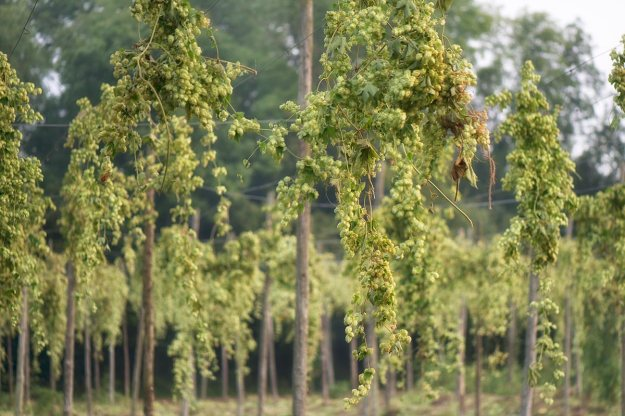 Fig. 14 Hops - 1/250 at f/2.8, ISO100